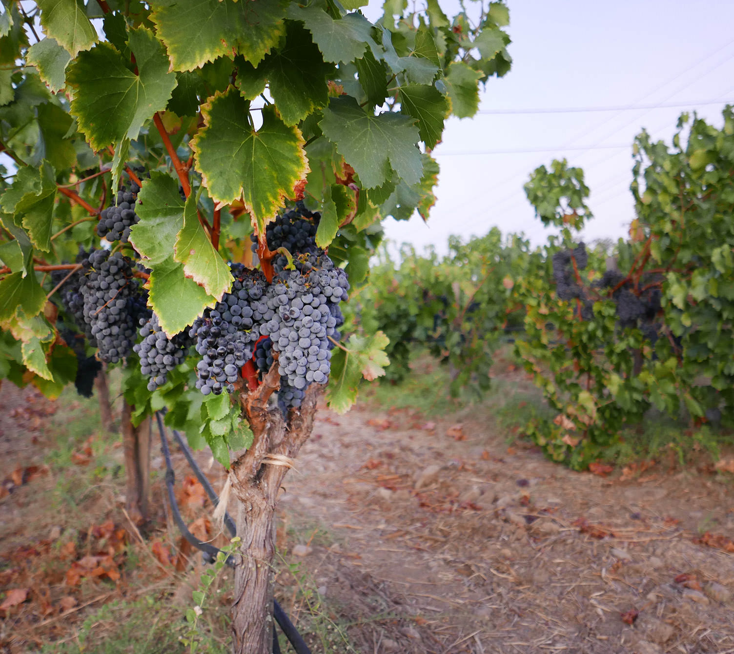 red-grapes-in-vineyard